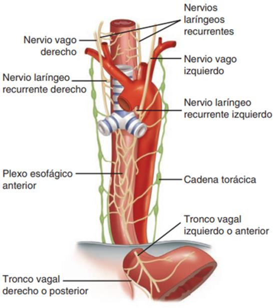 Anatomía, histología y fisiología del aparato digestivo ...